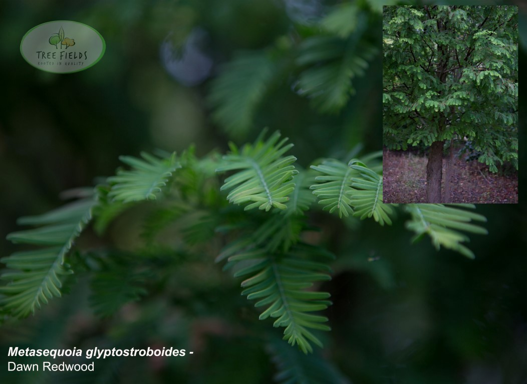 18.-Metasequoia-glyptostroboides