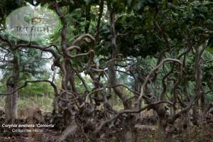 Corylus avellana 'Contorta'