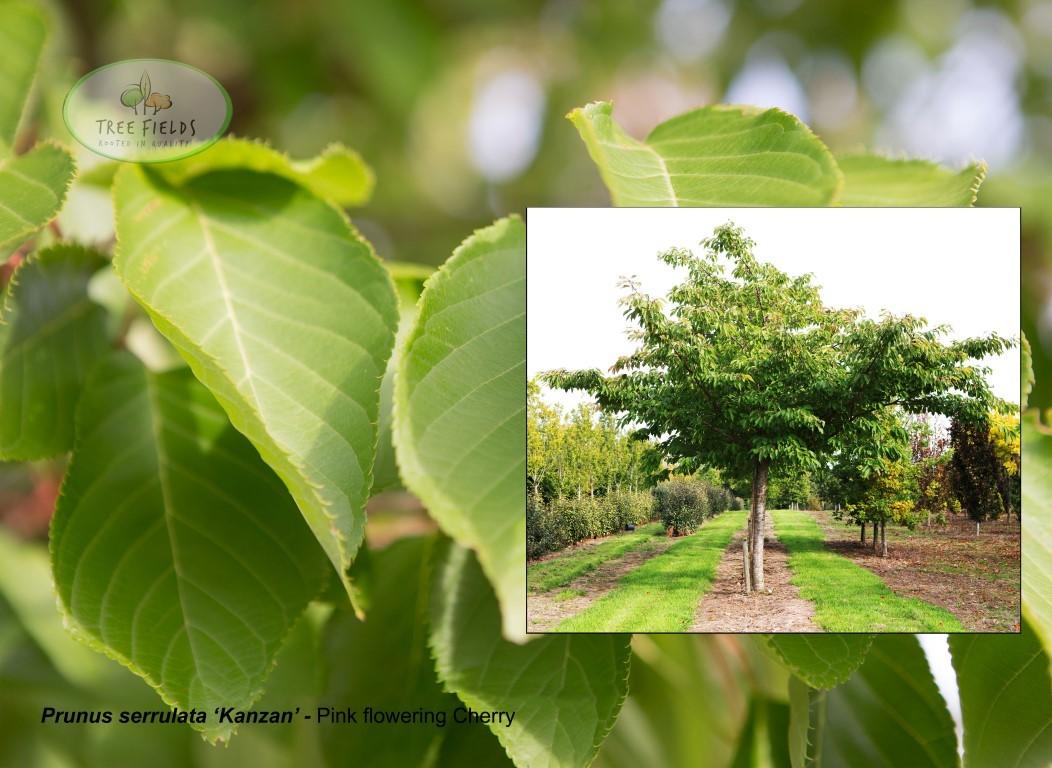 26.-Prunus-serrulata-Kanzan