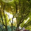 1_-Acer-palmatum-Sango-Kaku-Cover-109x109