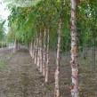 3_-Betula-nigra-109x109
