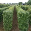 Clipped-instant-Fagus-syl_-hedging-1200mm-x-350mm-109x109