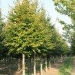Fagus-Sylvatica-CS-20-25cm-25-30cm-109x109