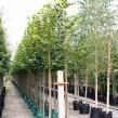 Tilia-andLime-Trees-cg-109x109